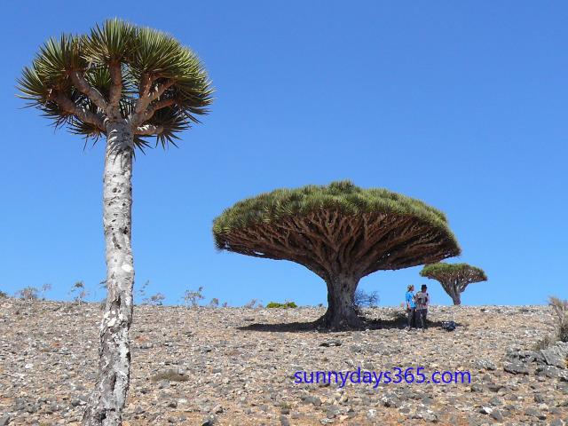 龍血樹の成木と幼木