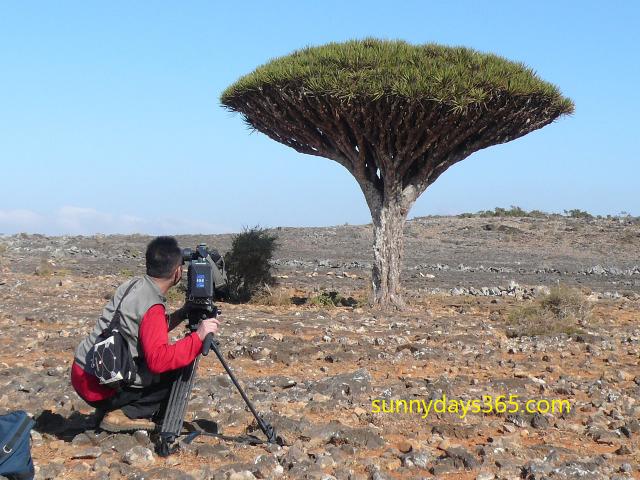 筆者の龍血樹撮影風景