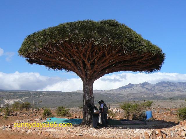 シェバホン村の中心にある巨大な龍血樹