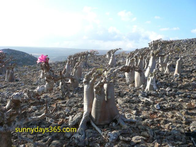 ソコトラ島で独自に進化した固有種ボトルツリー
