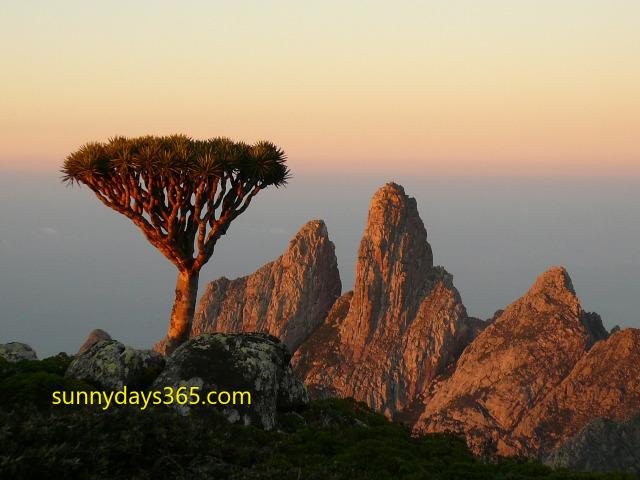 ハギール山脈頂上にあった龍血樹の幼木と夕景