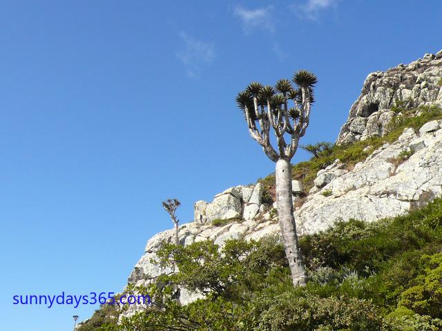 ハギール山脈頂上付近で見られる龍血樹の幼木