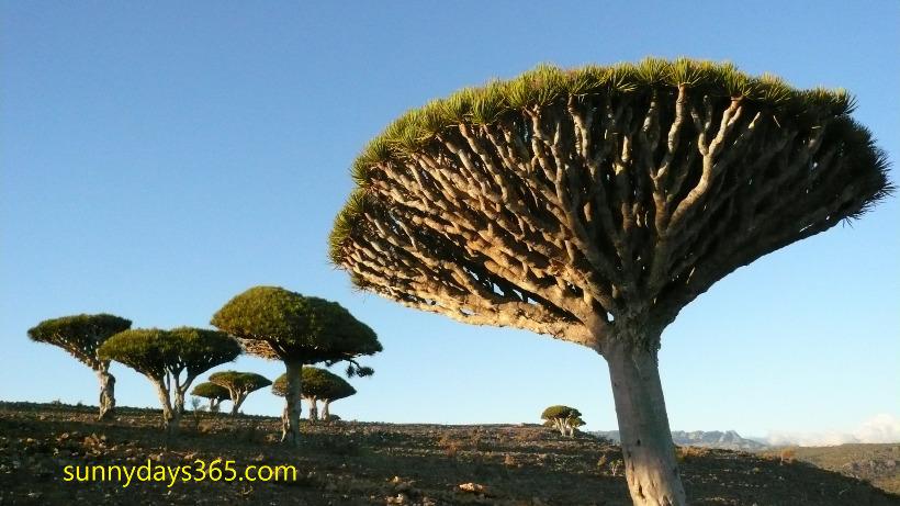 ソコトラ島ディクサム高地に群生する龍血樹
