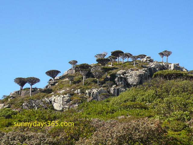 ハギール山脈頂上付近で見られる龍血樹の幼木群