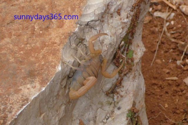 ソコトラ島の猛毒サソリ