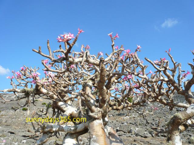 ピンクの花をつけたボトルツリー
