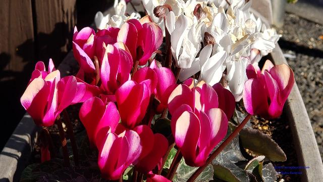 プランタンの花のアップ