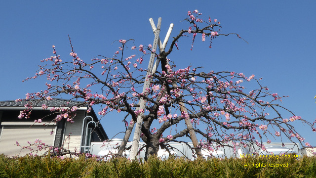 太陽の順光が当たった梅の木