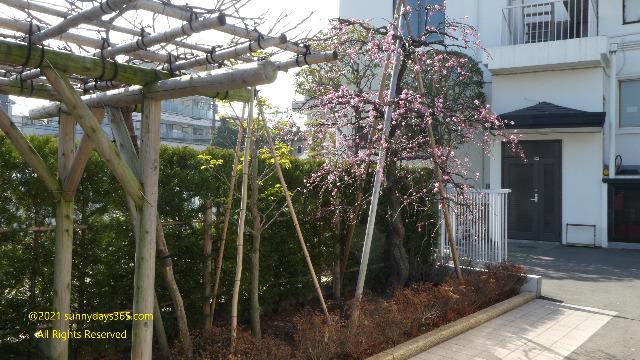 反対側に生垣がある梅の木
