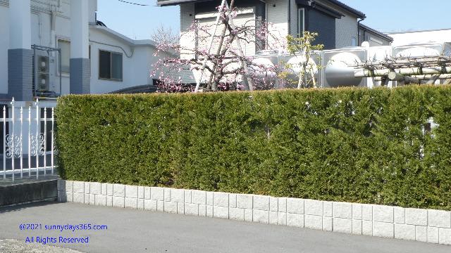 生垣の向こう側にある太陽の当たった梅の木