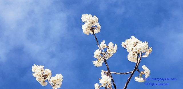 青空をバックにした桜