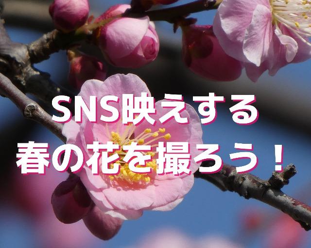 満開の梅の花びらのアップ