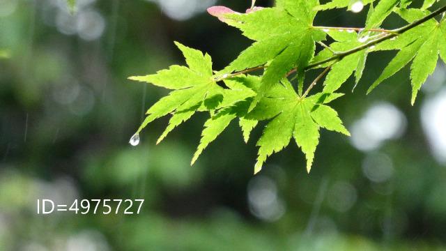 モミジの葉からしたたる雨粒