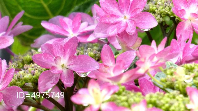 アジサイの花びらに溜まった雨粒